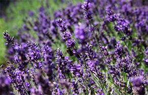 tea tree oil and lavender oil soap recipe